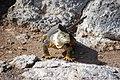 Reptil en las islas Galápagos001.jpg
