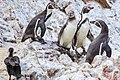 Reserva National Isla Ballestas…4 Humboldt Penquins & a Cormorant (8443278881).jpg