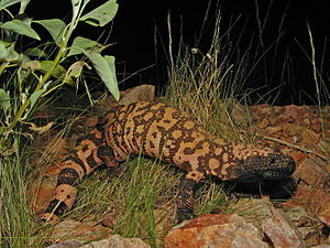 A Reticulate Gila Monster (Heloderma suspectum...