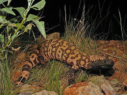 A reticulated Gila monster (H. s. suspectum) Reticulate Gila Monster.jpg