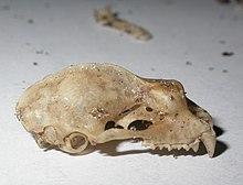 Ein Foto eines Fledermausschädels vor einem weißen Hintergrund.  Der Unterkiefer fehlt.  Die Molaren und Prämolaren haben dreieckige Höcker und die Eckzähne sind ausgeprägt.  Es hat eine große Knochenschwellung an der Schnauze.