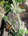 Rhodanthidium sticticum - Flickr - gailhampshire (5).jpg