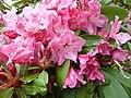 Rhododendron 'Dutch Master'.jpg