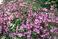 Rhododendron Alight 4zz.jpg