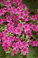 Rhododendron Wister Pink Flowers 2000px.jpg