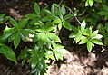 Rhododendron davidsonianum 02.jpg