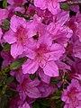 Rhododendron flower, Bodnant Gardens - geograph.org.uk - 804537.jpg