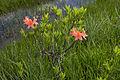 Rhododendron japonicum 08.jpg