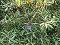 Rhododendron rubiginosum.jpg