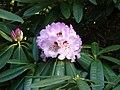 Rhododendron sutchuenense (1).jpg