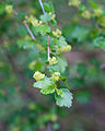 Ribes alpinum - Fleurs.jpg