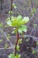 Ribes aureum 2.jpg
