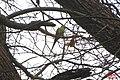 Ring-necked parakeet (SG) (25074880519).jpg