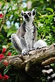 Ring-tailed lemur.jpg