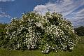 Ringve botaniske hage foto-Åge Hojem, NTNU Vitenskapsmuseet dsc9291 (15100600617).jpg