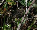 Robberfly sp. - Flickr - S. Rae (2).jpg