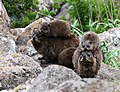 Rock Hyraxes (8469189592).jpg
