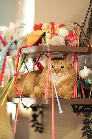 Cat café - Female Somali in cat Café in Tokyo