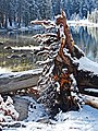 Roots, Tioga Lake, Yosemite 5-20-15 (18307300933).jpg