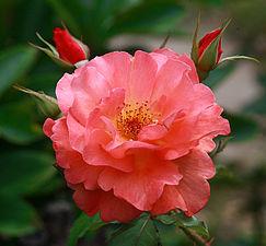 Rosa-'Westerland'.jpg