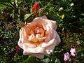 Rosa 'Lumière' in Jardin des Plantes de Paris 03.jpg