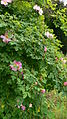 Rosa 'Marguerite Hilling', Jardin des roses anciennes, Lyon.jpg