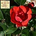 Rosa AM 563.jpg