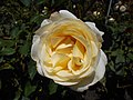 Rosa Chopin 2018-07-16 6268.jpg