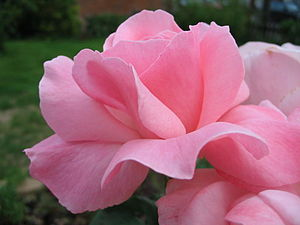 Pink wikipedia in most european languages pink is called rose or rosa after the rose flower mightylinksfo