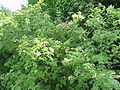 Rosa macrophylla1.jpg