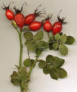 Rosa rubiginosa hips.jpg