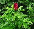 Rosa rugosa inflorescence (04).jpg
