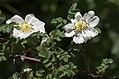 Rosa spinosissima inflorescence (48).jpg