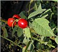 Rosa villosa fruit (01).jpg