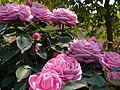 Rose,Bessie Johnson,バラ,ベシィ ジョンソン, (8119222405).jpg