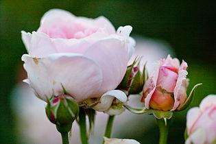 Rose, Masako (Eglantyne)3.jpg