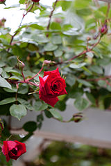Rose, Uncle Walter - Flickr - nekonomania.jpg