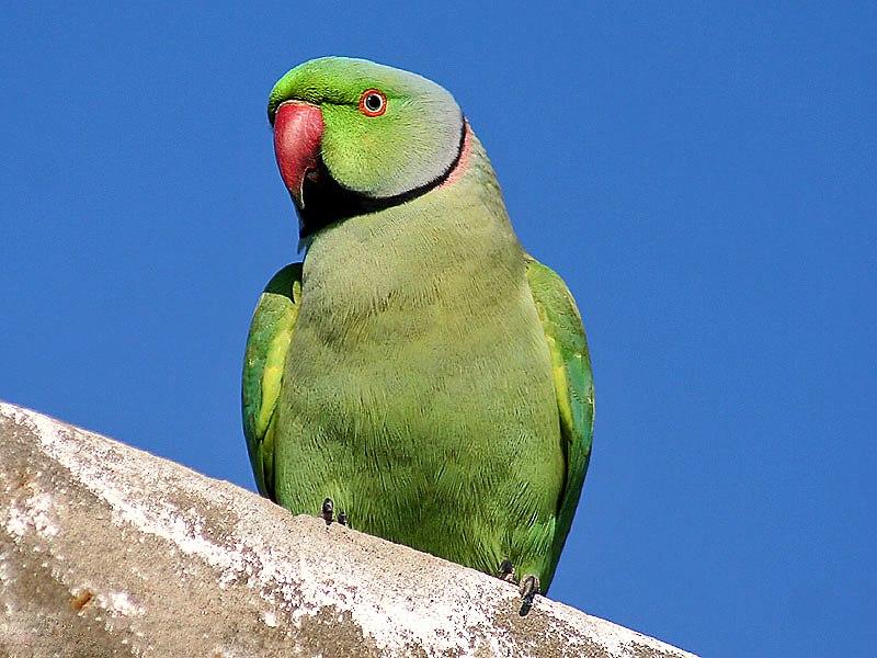 Rose-ringed Parakeet I IMG 9797