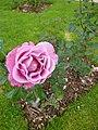 Rose du parc du thabor - panoramio (1).jpg