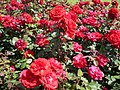 Roses in Queen Mary's Gardens, Regent's Park - geograph.org.uk - 1357807.jpg