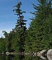 Round Lake Pinus strobus.jpg