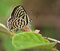 Rounded Pierrot (Tarucus nara)- Female on Zizyphus species in Hyderabad, AP W IMG 7966.jpg