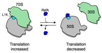 Prokaryotic translation - Mechanism of ribosomal subunit dissociation by RsfS (= RsfA)