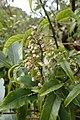 Rubus cissoides kz10.jpg