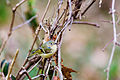 Ruby-crowned kinglet (25311749083).jpg