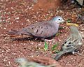 Ruddy Ground-Dove (Columbina talpacoti) - Flickr - Lip Kee.jpg
