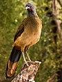 Rufous-vented Chachalaca - Guacharaca del Norte (Ortalis ruficauda) (8629080871) cropped.jpg
