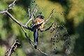 Rufous treepie (कोकले) 2.jpg