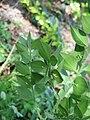 Ruscus aculeatus02.jpg