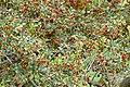 Russet Bushwillow (Combretum hereroense) (16507387078).jpg